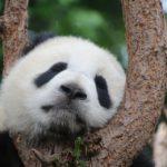 パンダの歴代の名前を調べてみた!寿命や年齢は?和歌山のパンダの歴史は?