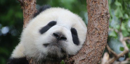 パンダ, パンダのクマ, 睡眠, 残り, リラックス, 中国, 哺乳類, 竹, 若い動物, 黒, 白, ベアー